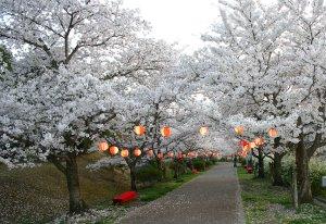 us-yuguresakuraa284_8445.jpg