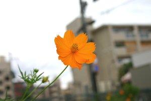 uo-kibanakosumosuImg_9368