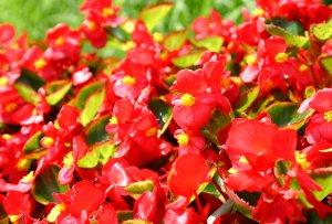 us-begonia146_4693.jpg