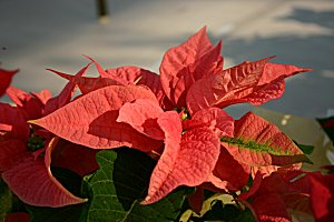 us-poinsechiaaka158_5828